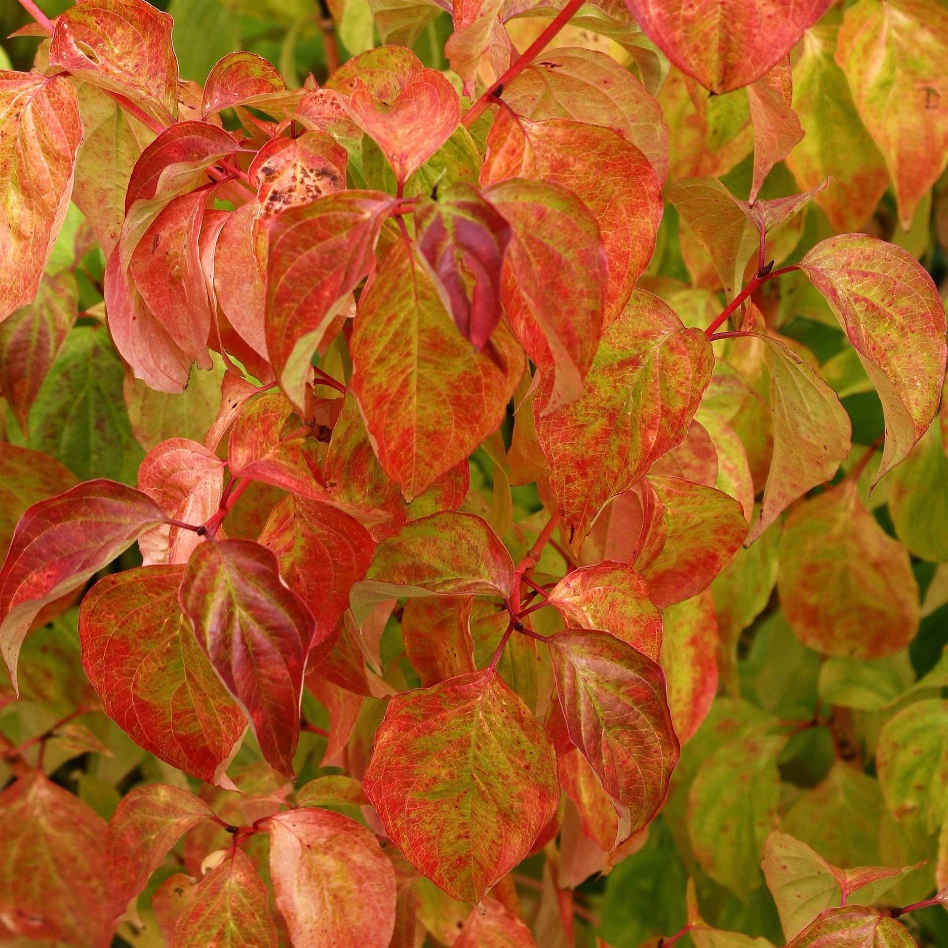 Arbuste Nain Persistant Plein Soleil les bois et les feuillages décoratifs