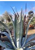 Les Agaves