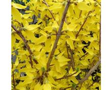 Forsythia intermedia Weekend